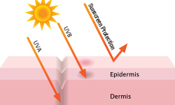 How_does_sunscreen_prevent_the_cause_of_skin_cancer